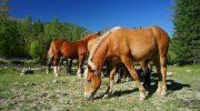 Župnik blagoslovi konja, kasneje pa ga poje