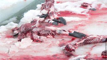 Pokol mladičev tjulnjev v Kanadi
